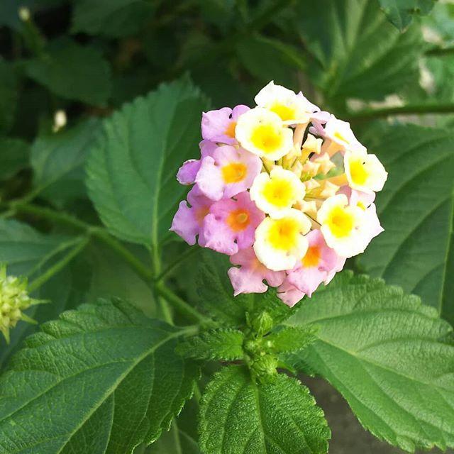 この花、花の中で一番好きな花なんですが、名前がわかりませんこの時期、よく道端で咲いてます。あじさいに似てるけど、同じ種類なのかな…直径3~4㎝ぐらい、中と外の色が違ってすごくかわいいどなたか、この花の正体を教えて下さい~#スマイ#西区スマイ#不動産#仲介#不動産売買#リフォーム#DIY#中古マンション明石#西舞子中古戸建て#草花#あじさい#花